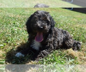 Cock-A-Poo Puppy for Sale in OMAHA, Nebraska USA