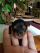 Yorkshire Terrier Puppy For Sale in UNION GROVE, NC, USA