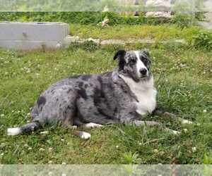 Australian Shepherd Mix Dog for Adoption in COOKEVILLE, Tennessee USA