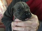 Cane Corso Puppy For Sale in MUNCIE, Indiana,