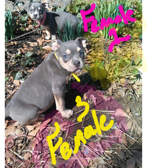 Bullypit Puppy For Sale in GREENVILLE, SC