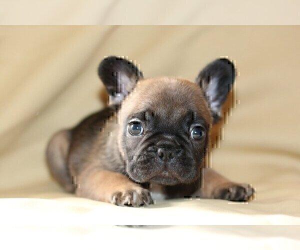 Medium Photo #2 French Bulldog Puppy For Sale in WINDERMERE, FL, USA