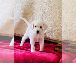 Labrador Retriever Puppy for sale in KITTRELL, NC, USA
