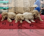 Goldendoodle Puppy For Sale in CLARKSVILLE, TX, USA