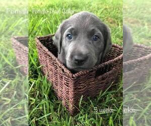 Labrador Retriever Puppy for sale in FAYETTEVILLE, AR, USA