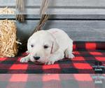 Puppy 6 English Cream Golden Retriever-Poodle (Standard) Mix
