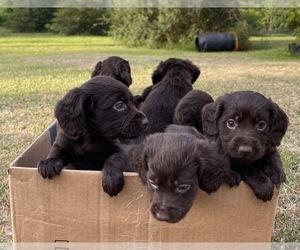 Boykin Spaniel Puppy for sale in ALMA, GA, USA