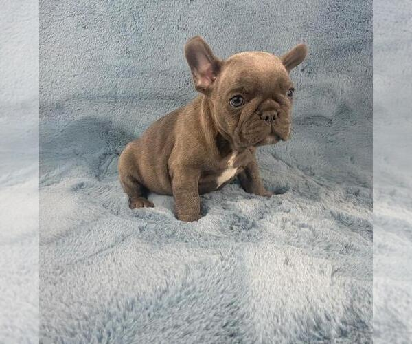 Medium Photo #1 French Bulldog Puppy For Sale in PHILA, PA, USA
