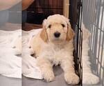 Puppy 3 Poodle (Standard)