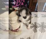Small #19 Siberian Husky