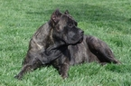 AKS registred Cane corso Italian mastiff