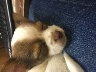 Chihuahua Puppy For Sale in BOONEVILLE, MS