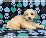 Small #4 Cavachon-Poodle (Toy) Mix