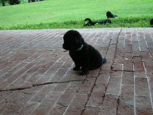 Newfoundland Puppy For Sale in CLINTON, NY, USA