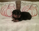 Rottweiler Puppy For Sale in UNIONTOWN, PA,