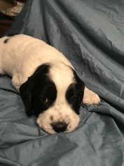 English Springer Spaniel Puppy For Sale in OMAHA, NE, USA