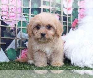 Cavachon Puppy for sale in MARIETTA, GA, USA