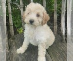 Small #1 Poodle (Miniature)