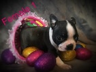Boston Terrier Puppy For Sale in CAVE CITY, KY, USA