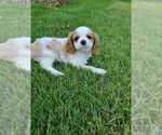 Puppy 3 Cavalier King Charles Spaniel