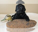 Image preview for Ad Listing. Nickname: Puppy #2(Lt Br)