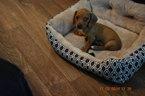 Dachshund Puppy For Sale in CORPUS CHRISTI, TX, USA