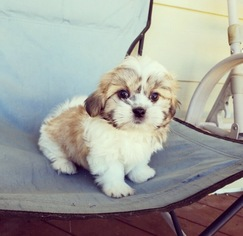 For Los Angeles Puppies Area In Sale