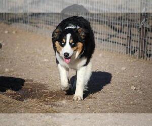 Mother of the Australian Shepherd puppies born on 02/29/2020