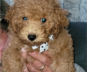 Poodle (Miniature) Puppy for sale in LETTS, IA, USA