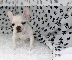 French Bulldog Puppy for sale in SEA ISLAND, GA, USA