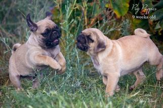 Pug Puppy for sale in MEDICAL LAKE, WA, USA