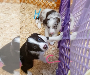 Border Collie Puppy for Sale in COPPEROPOLIS, California USA
