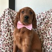 Irish Setter Puppy For Sale in QUARRYVILLE, PA, USA