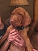 Family raised Vizsla puppy