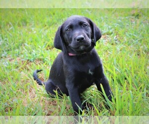 Labrador Retriever Puppy for Sale in LOVELADY, Texas USA