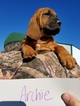 Bloodhound Puppy For Sale in VERSAILLES, MO,