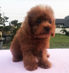 Red Toy Poodle Elmer LA SFO NY CHI SEA