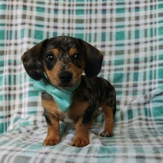 Dachshund Puppy for sale in EDEN, PA, USA