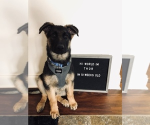 German Shepherd Dog Puppy for Sale in BERLIN, New Jersey USA