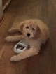 Goldendoodle Puppy For Sale in ZEELAND, MI