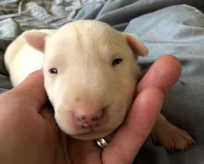 Bull Terrier Puppy For Sale in MILLVILLE, NJ, USA