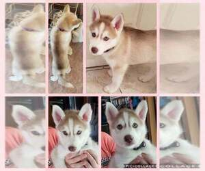 Siberian Husky Puppy for sale in ROBINSON, IL, USA