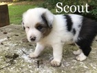 Australian Shepherd Puppy For Sale in CLINTON, MS, USA