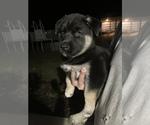 Puppy 3 German Shepherd Dog-Siberian Husky Mix