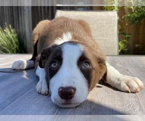 Border Collie Puppy for Sale in CUPERTINO, California USA