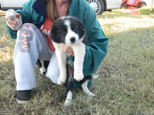 Border Collie Puppy For Sale in VERDEN, OK