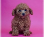 Puppy 6 Poodle (Toy)