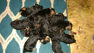 Airedale Terrier Puppy For Sale in ALTON, VA