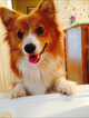 Pembroke Welsh Corgi Puppy For Sale in FALLON, NV, USA