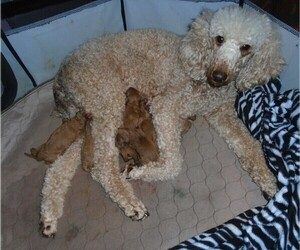 Poodle (Standard) Puppy for sale in CLATSKANIE, OR, USA